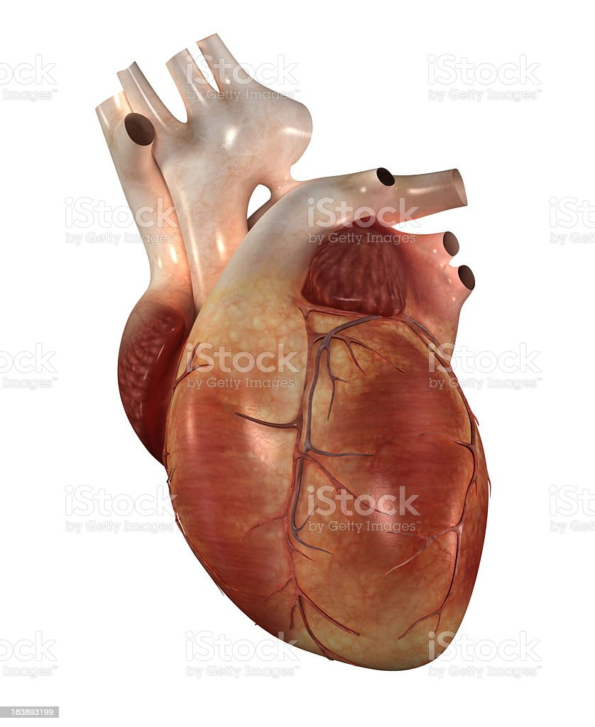 Model of a human heart isolated on white royalty-free stock photo