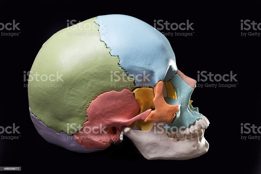 Model of a human skull royalty-free stock photo