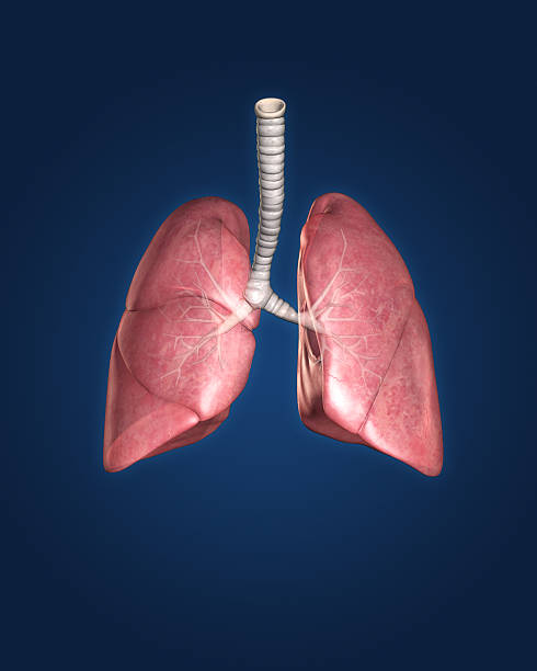 Model of a set of lungs on a blue background stock photo