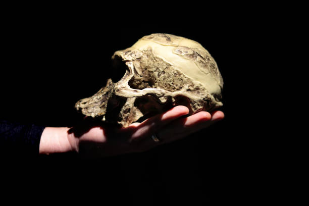 Model of human ancestor skull (Australopithecus africanus) on a hand. stock photo
