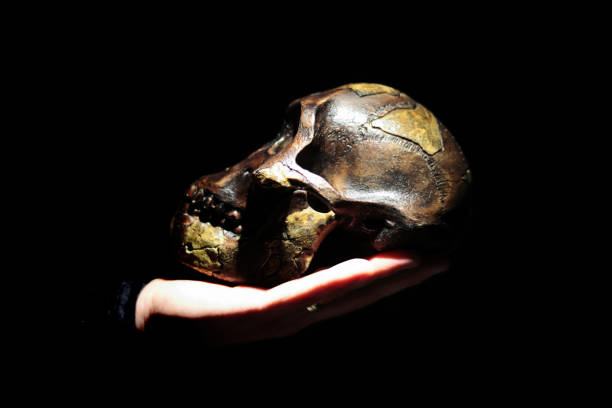 Model of human ancestor skull (Australopithecus afarensis) on a hand. stock photo