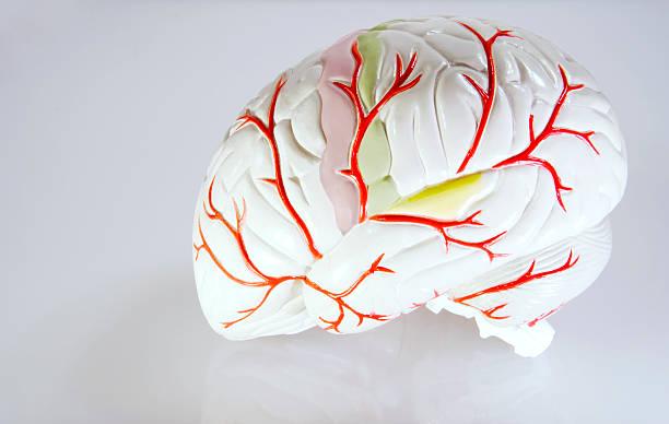 Model of Human Brain stock photo