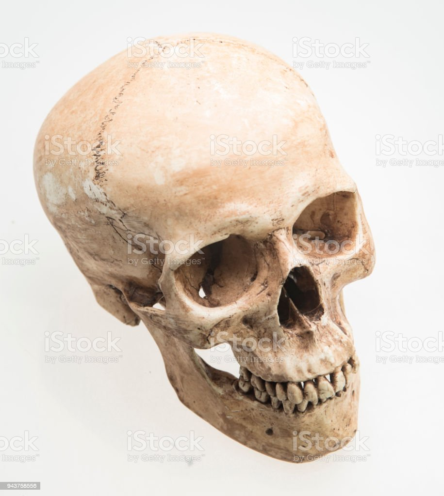 Model Of Human Skull Isolated On White Stock Photo & More Pictures ...