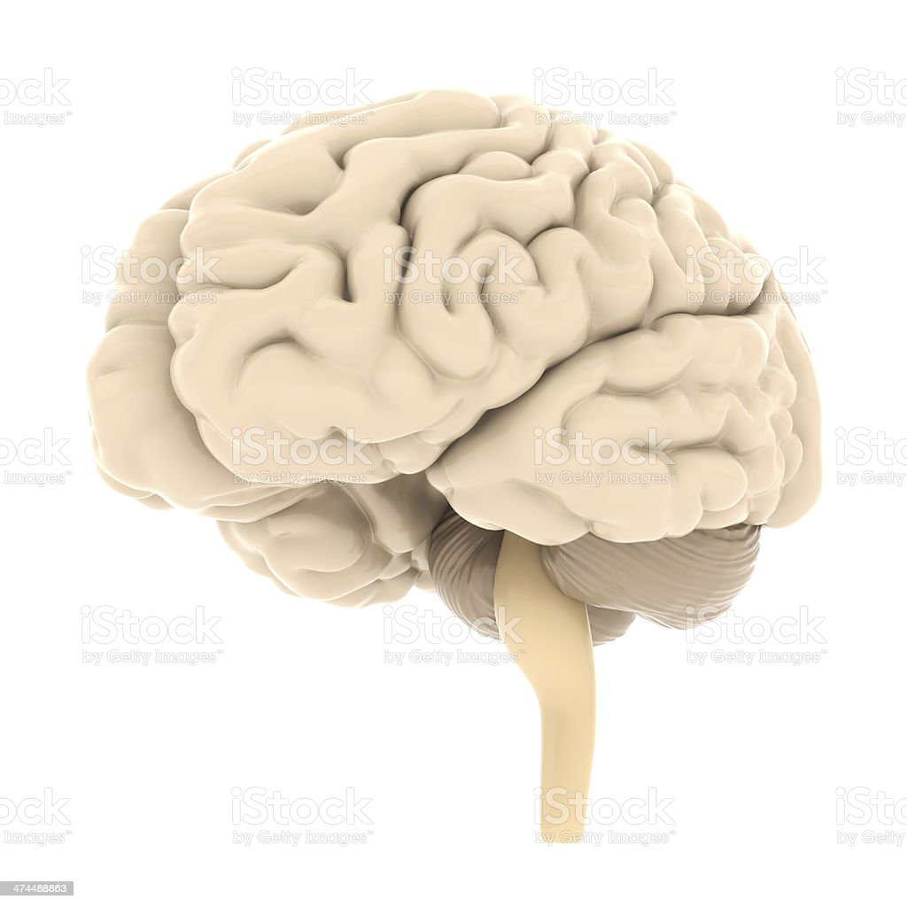 Modell des Gehirns – Foto