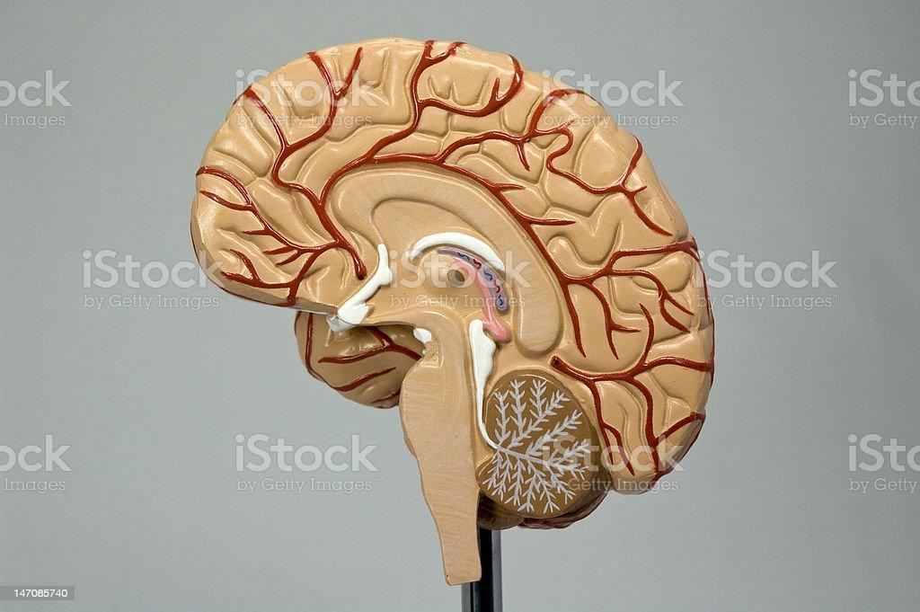 Model of the human brain I royalty-free stock photo