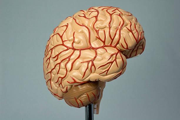 Model of the human brain II stock photo