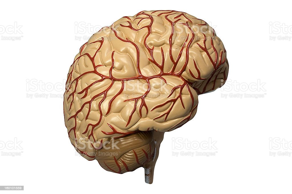 Model of the human brain isolated on white stock photo