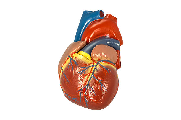 Model of the human heart I isolated on white stock photo