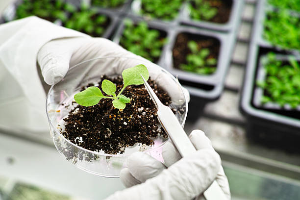model plant in a research lab - genetic modification stock photos and pictures