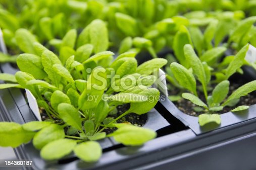 Arabidopsis in growth chamber