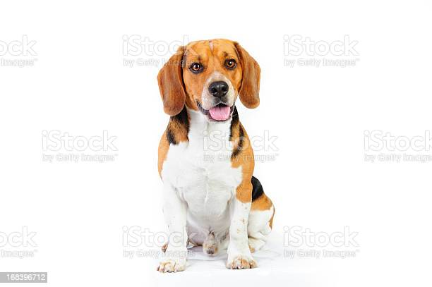 Model shot of young beagle dog picture id168396712?b=1&k=6&m=168396712&s=612x612&h=g97m9mlpuiwtzjzn5kbkzpvgwfpgeg5n6acri nk jg=