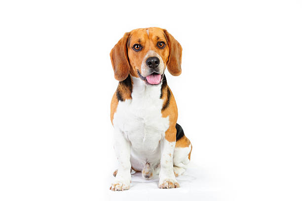 Model shot of young beagle dog Three colored beagle dog, 18 months old. Isolated on white. beagle stock pictures, royalty-free photos & images