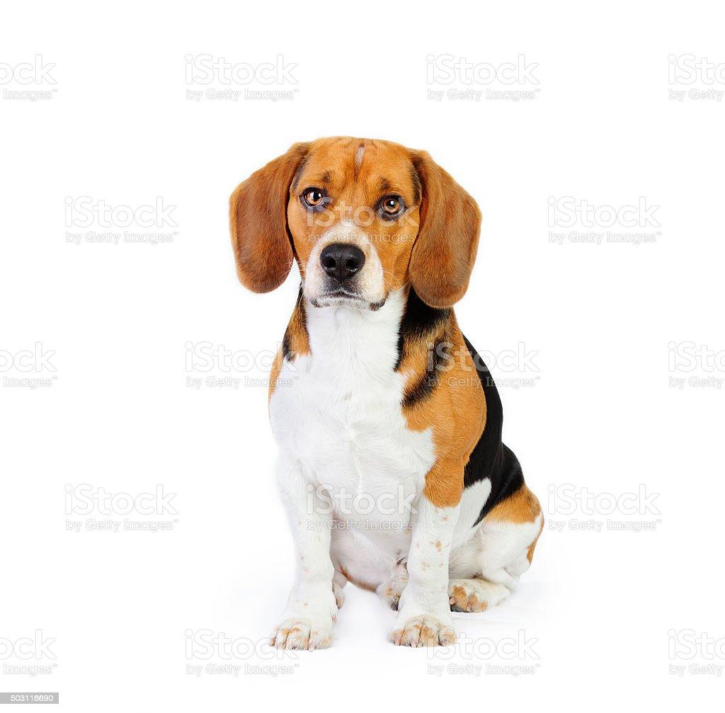 Model shot of young beagle dog stock photo
