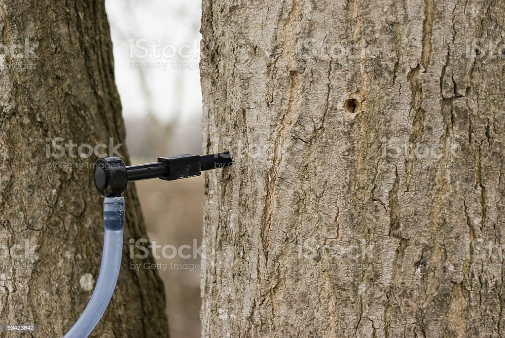 Modern Maple Sap Spile royalty-free stock photo