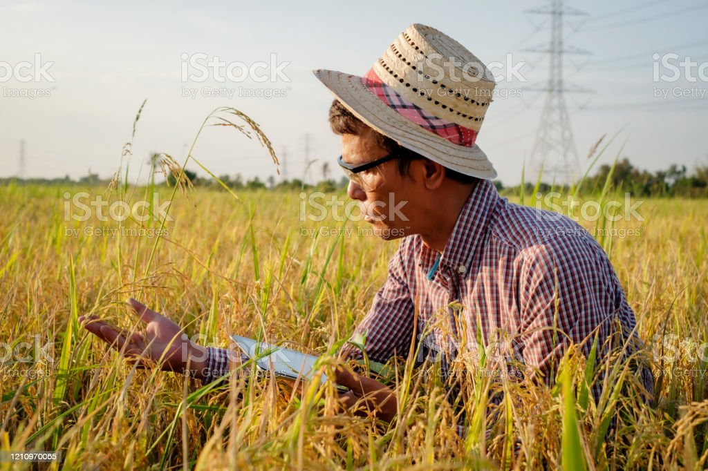 Modern Rice Farmer Using Application Technology On Tablet To Analyze Rice Agriculture Stock Photo Download Image Now Istock