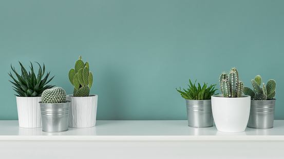 Modern room decoration. Collection of various potted cactus and succulent plants on white shelf against pastel turquoise colored wall. House plants banner.