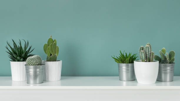 modern room decoration. collection of various potted cactus and succulent plants on white shelf against pastel turquoise colored wall. house plants banner. - plants zdjęcia i obrazy z banku zdjęć