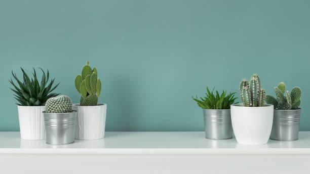 現代客房裝飾。收集各種盆栽仙人掌和多汁植物在白色的架子上對柔和的綠松石彩色牆。房子植物橫幅。 - 植物 個照片及圖片檔