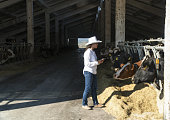 A Modern Woman Farmer with Digital Tablet Examining Diary Farm Cows While Grazing in a Barn. Livestock Ranch. Modernisation of a production process. Woman Veterinarian