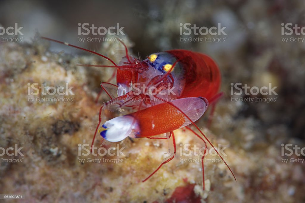 Modest snapping shrimp, three quarter front view royalty-free stock photo