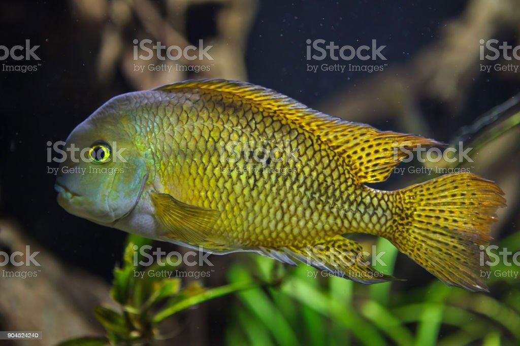 Moga (Hypsophrys nicaraguensis) stock photo