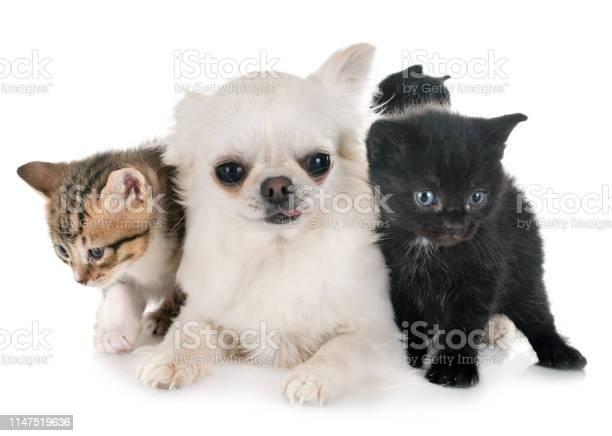 Moggy kitten and chihuahua picture id1147519636?b=1&k=6&m=1147519636&s=612x612&h=dr4vgt0wrlrd7ku6l0gsd3otvq v7k3fr1zjrelkk3a=
