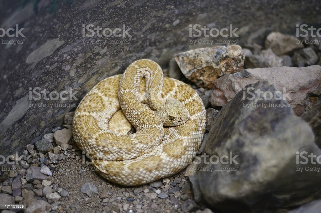 Mohave Rattlesnake Crotalus scutulatus stock photo