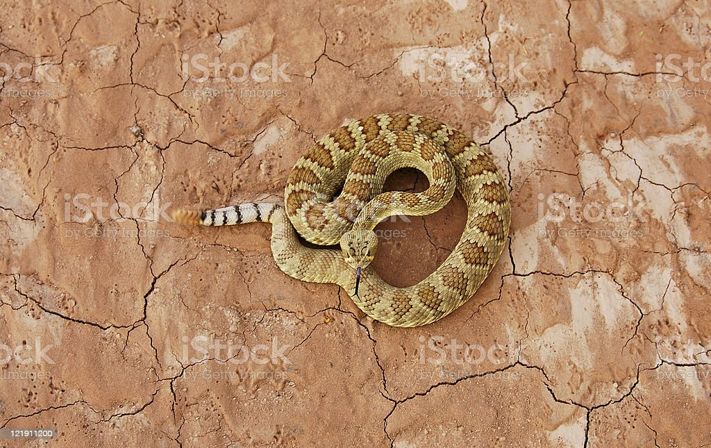 Mohave rattlesnake over dried red soil stock photo