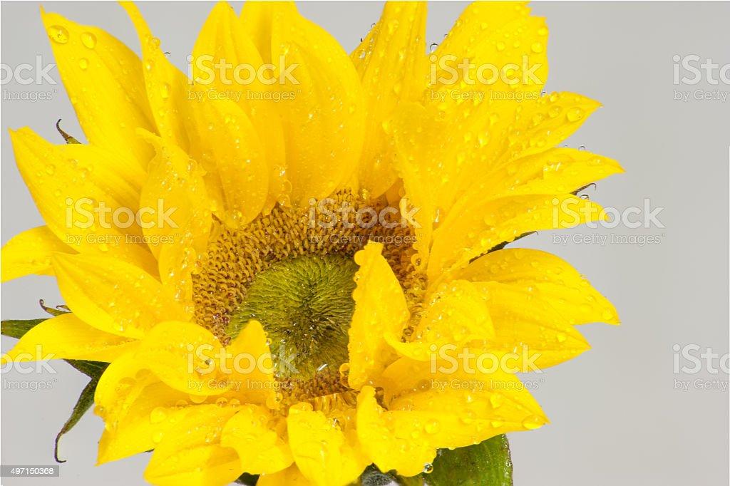 Moist petals of yellow stock photo