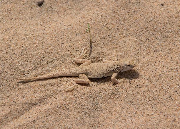 Mojave Fringed Toed Lizard stock photo