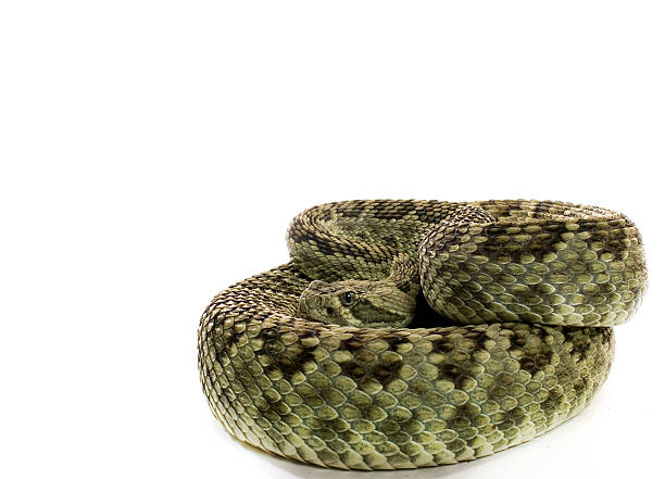 Mojave Green Rattlesnake Mojave Green Rattlesnake mojave desert stock pictures, royalty-free photos & images