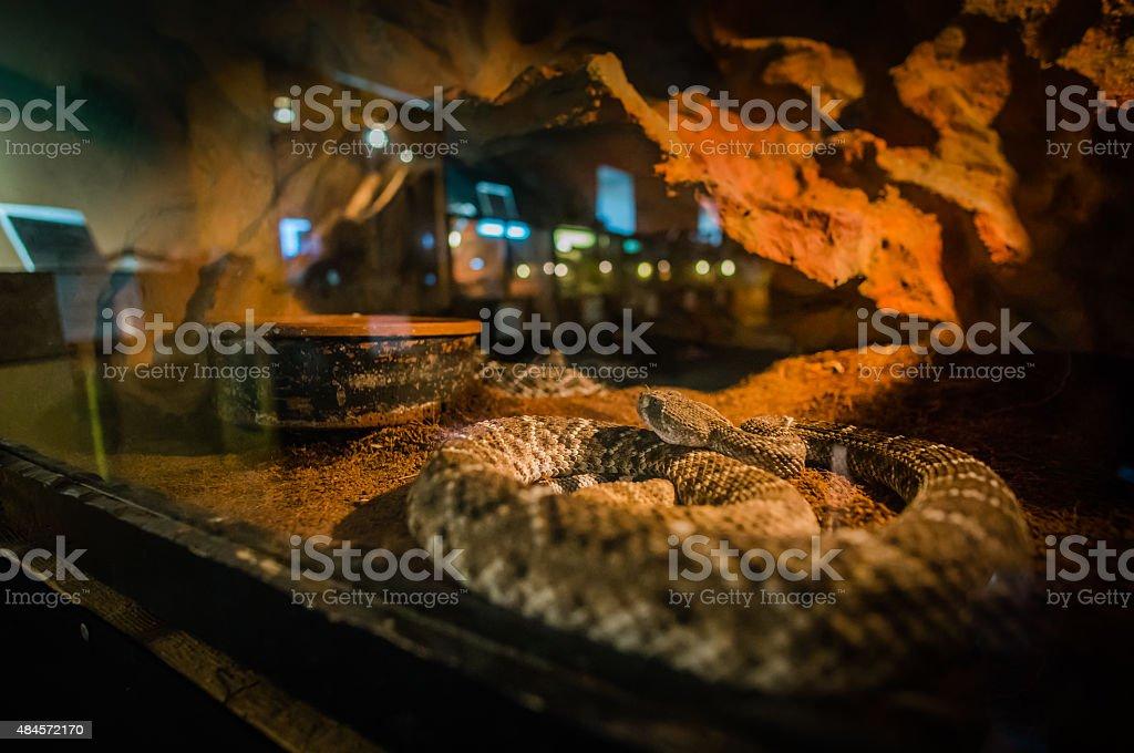 Mojave Rattlesnake in low light exposure. stock photo
