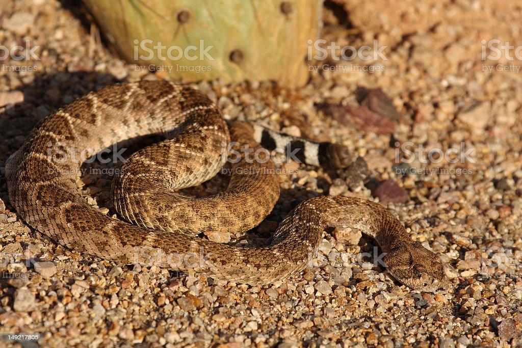 Mojave Rattlesnake next to Cactus stock photo