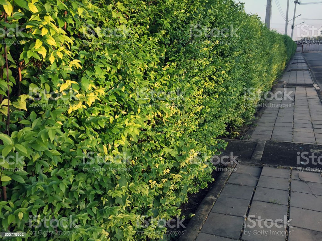 Mok plant fence parallel with sidewalk. stock photo