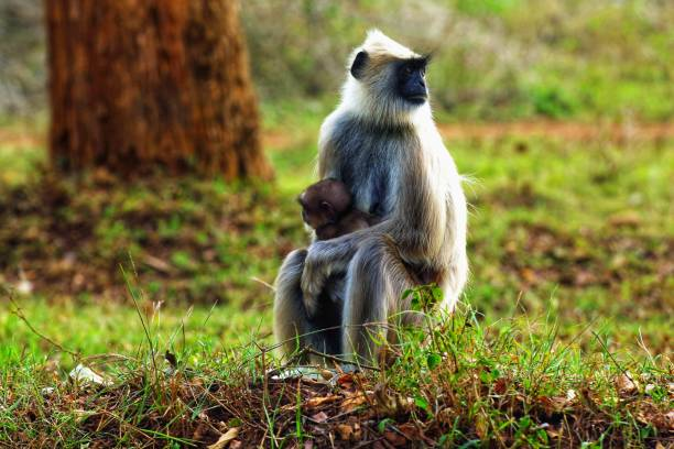 A mokey representing parenting in a forest by taking care of child Parenting is the most important thing a child needs tufted gray langur stock pictures, royalty-free photos & images