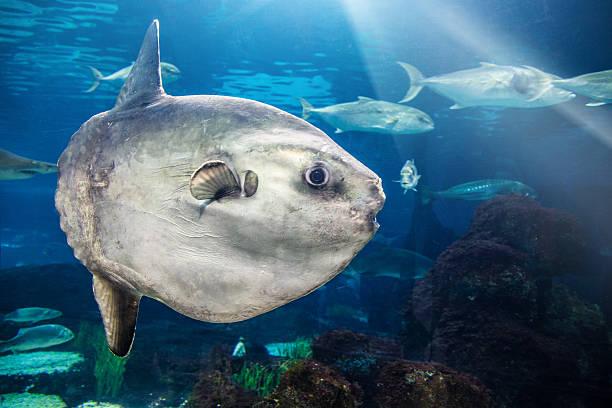 MolaMola (Ocean Sunfish) stock photo