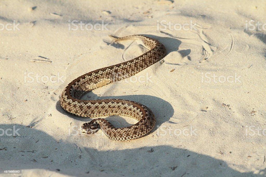 moldavian meadow viper on sand stock photo