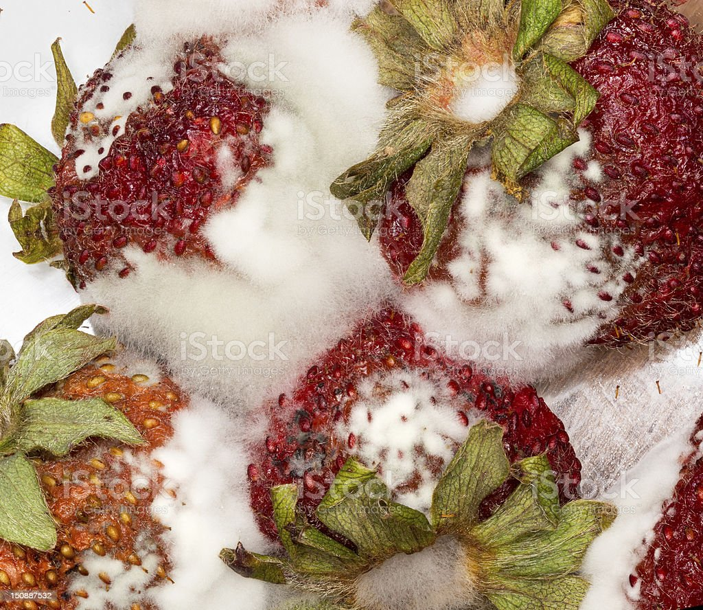 Moldy strawberries in macro close up royalty-free stock photo