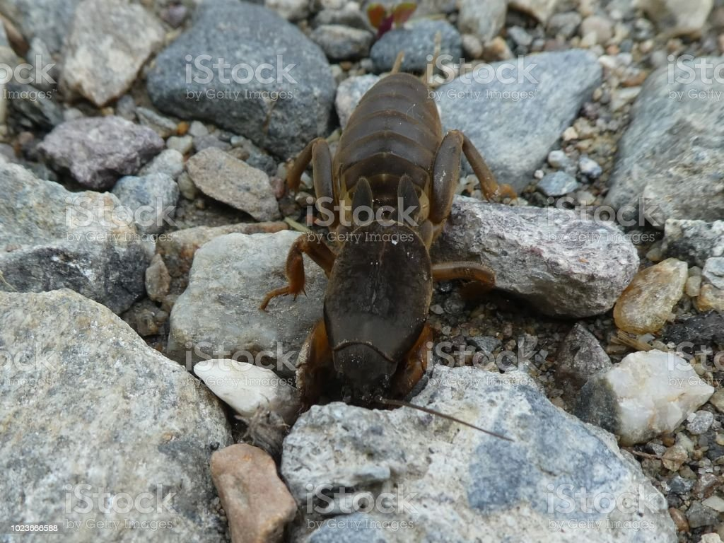 italy europe south tyrol mole cricket animal insect big