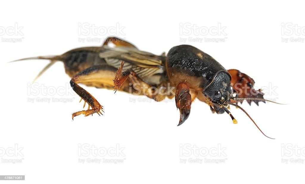 mole cricket stock photo