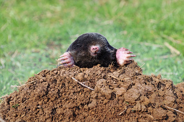 A mole digging his way out of a pile of dirt Photo of mole sticking out of molehill. mole animal stock pictures, royalty-free photos & images