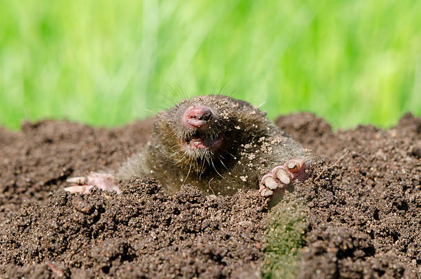 Mole head in soil. Mole head in molehill hole soil. Enemy for beautiful lawn. mole animal stock pictures, royalty-free photos & images