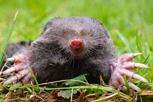 Mole Head Close up of a European Mole (Talpa Europaea) with green background mole animal stock pictures, royalty-free photos & images