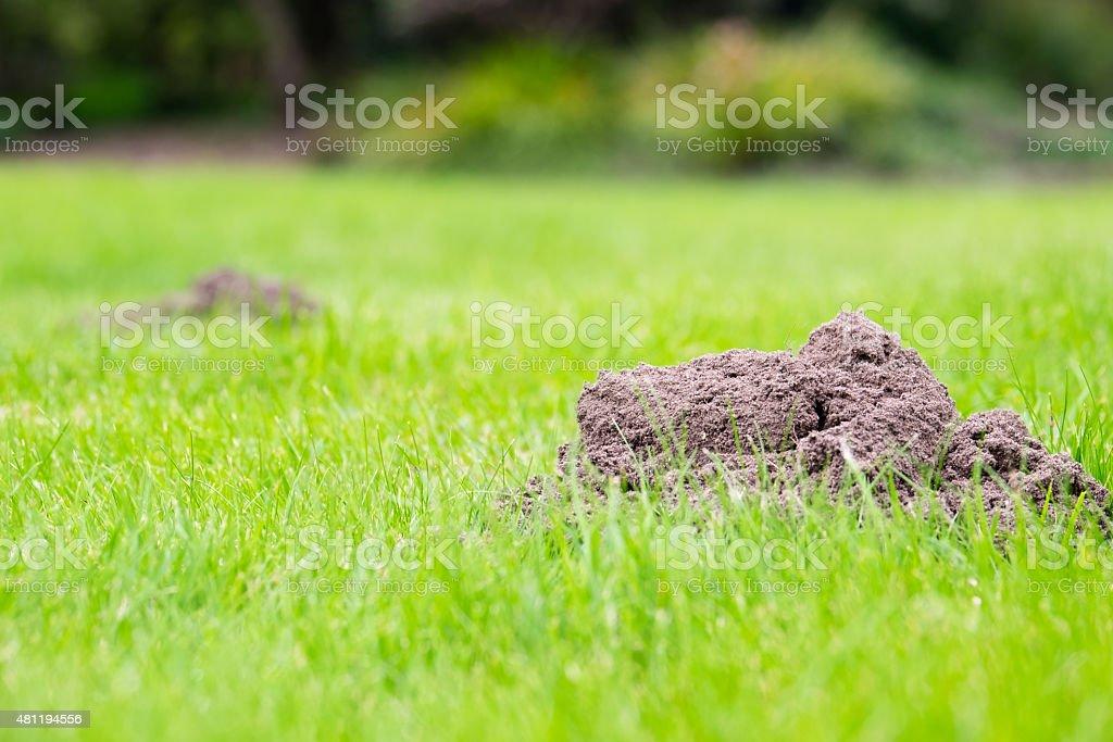 Mole Hills in a domestic garden stock photo