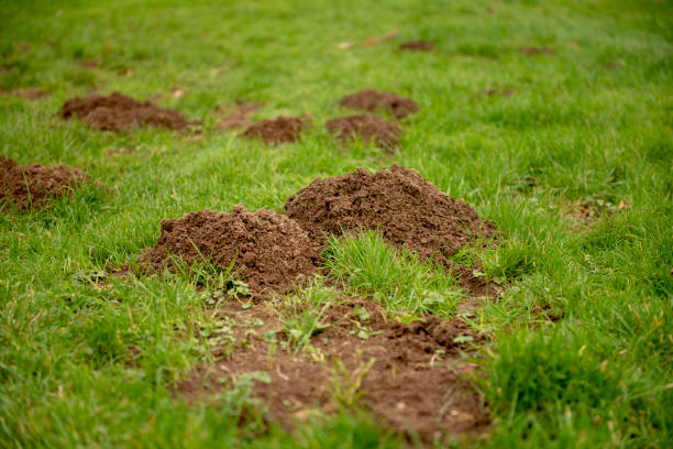 Mole hills on green grass Close up image of mole hills on green grass mole animal stock pictures, royalty-free photos & images