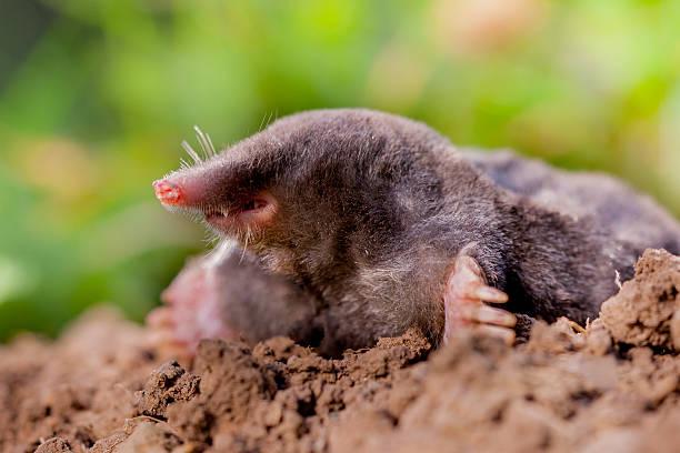 Mole (Talpa europaea) in Natural Environment The European mole or Common Mole is a mammal of the order Soricomorpha mole animal stock pictures, royalty-free photos & images