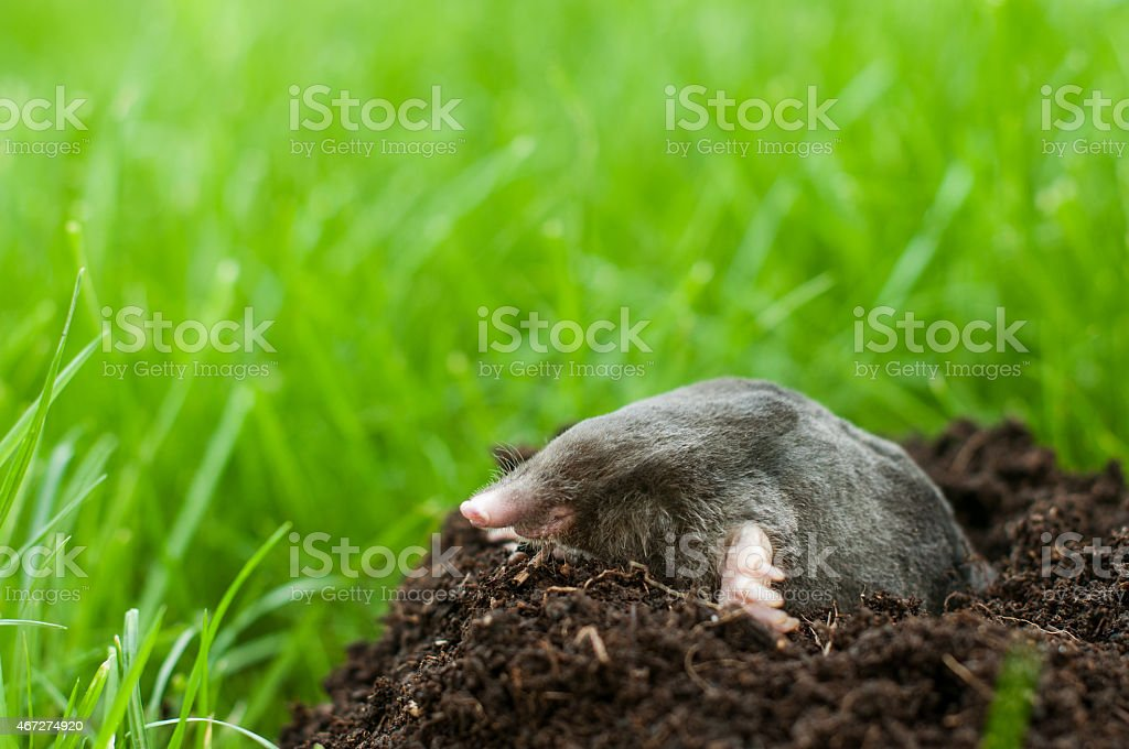 Mole in soil hole stock photo
