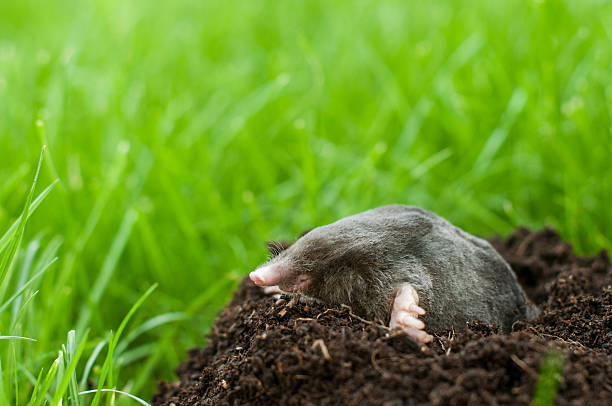Mole in soil hole Profil of mole digging the soil mole animal stock pictures, royalty-free photos & images