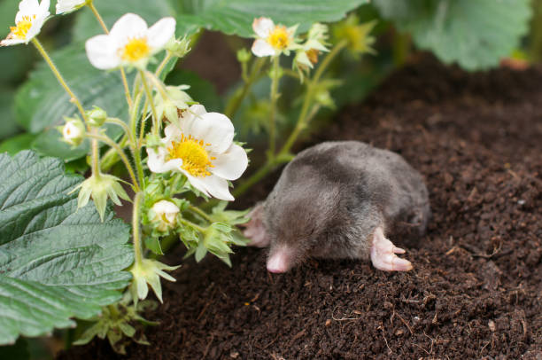 Mole in strawberry garden Mole out of its hole in strawberry garden mole animal stock pictures, royalty-free photos & images