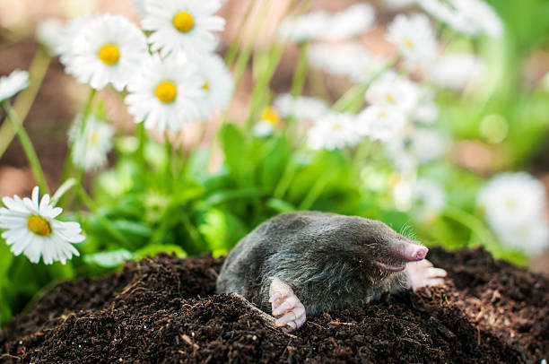 Mole in the hole Mole on a heap of soil in a garden mole animal stock pictures, royalty-free photos & images